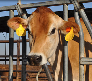 DAIRY VETERINARY SERVICES TULARE CA