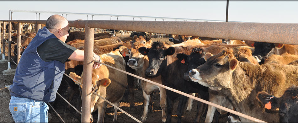 Cattle Veterinarian in Tulare CA